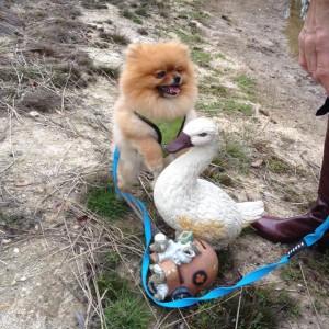Toffi Pomeranian Sladdin