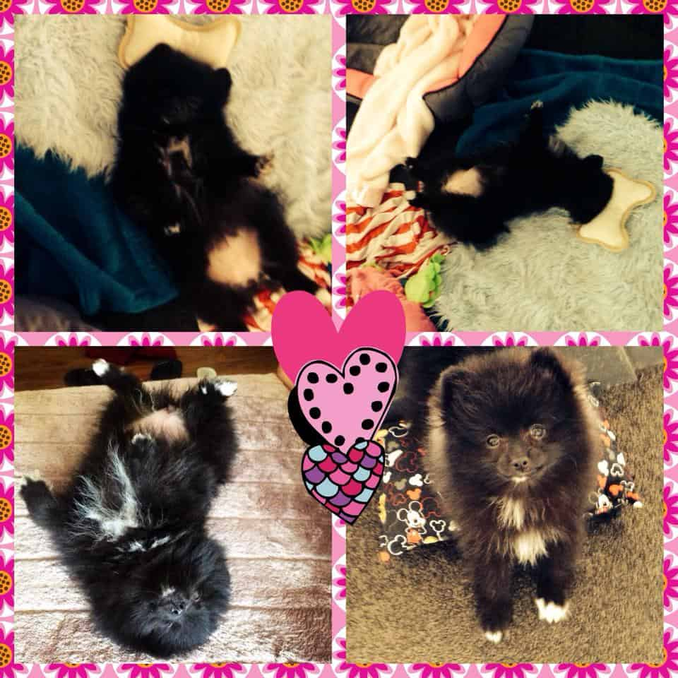 The Pomeranian Brittany Kinman