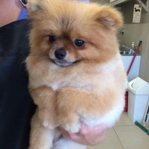 Toffi Pomeranian Sladdin at the groomers.