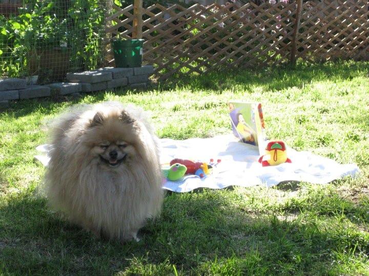 Buffy Pomeranian Ronchi