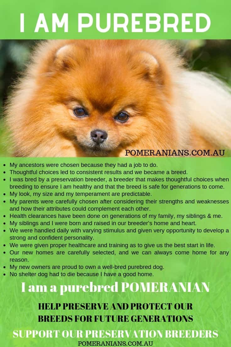 How to Find Cute Pomeranian Puppies Australia