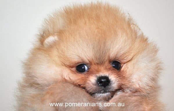 Light Brown Pomeranian Puppy