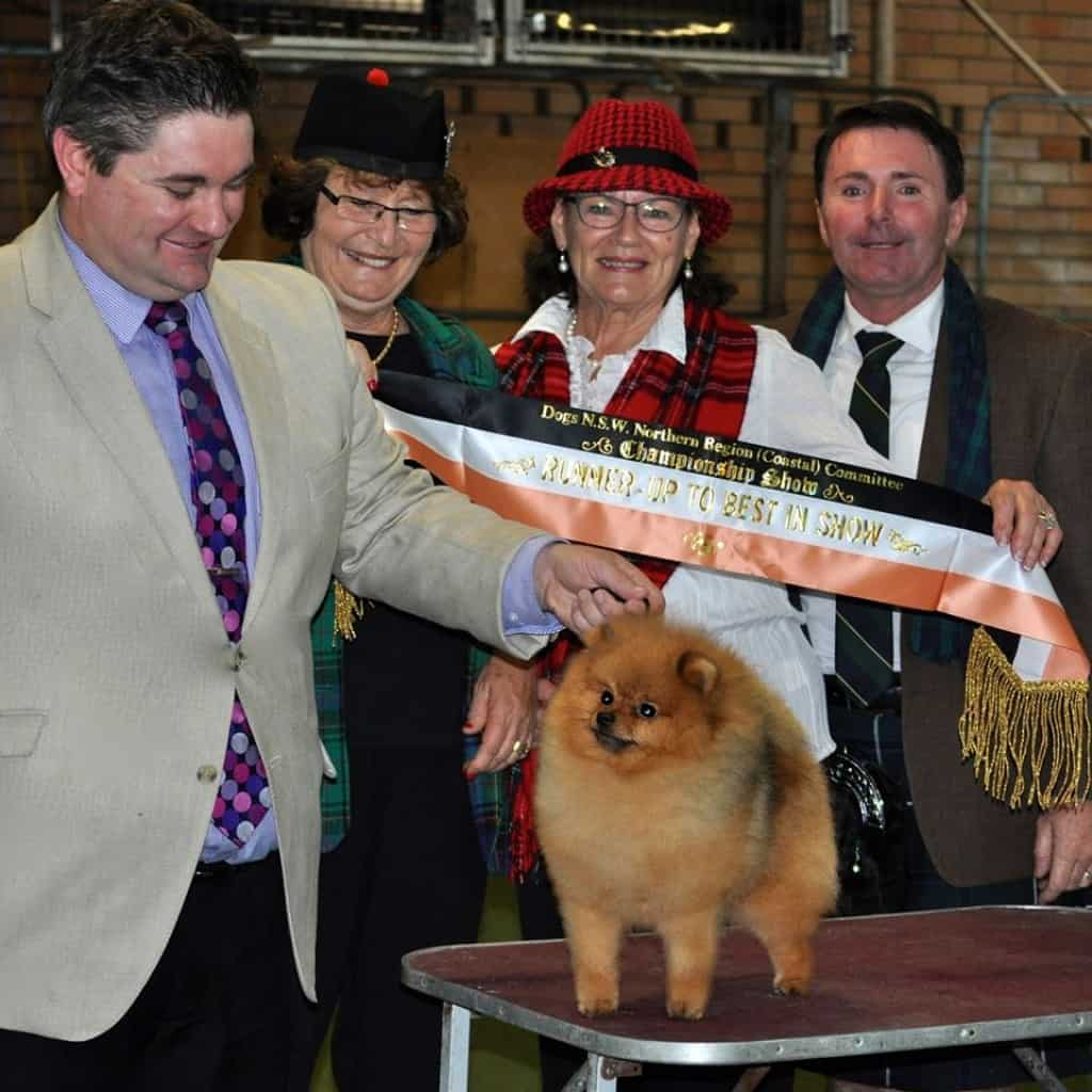 """""""Rebel"""" Can & Aust Shallany's Rebel With A Cause as Australia's #1 Pomeranian & Currently #2 Toy & #11 Amongst All Breeds."""