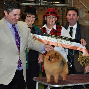 """Rebel"" Can & Aust Shallany's Rebel With A Cause as Australia's #1 Pomeranian & Currently #2 Toy & #11 Amongst All Breeds."