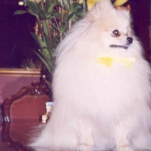 Freddy the Pomeranian