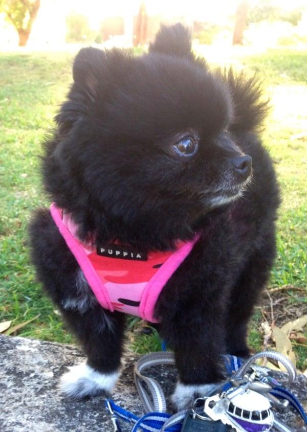 Lulu Pomeranian McCue