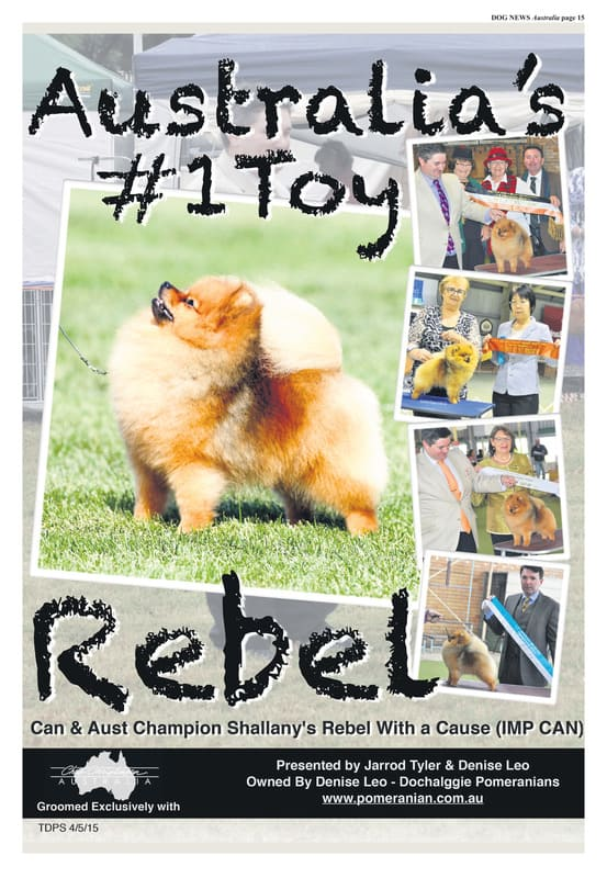Top Dog Pointscore Australia, Rebel is Top Toy Dog Australia wide