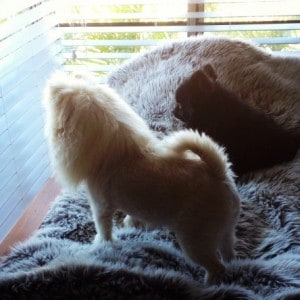 Pomeranians neighbourhooodwatch