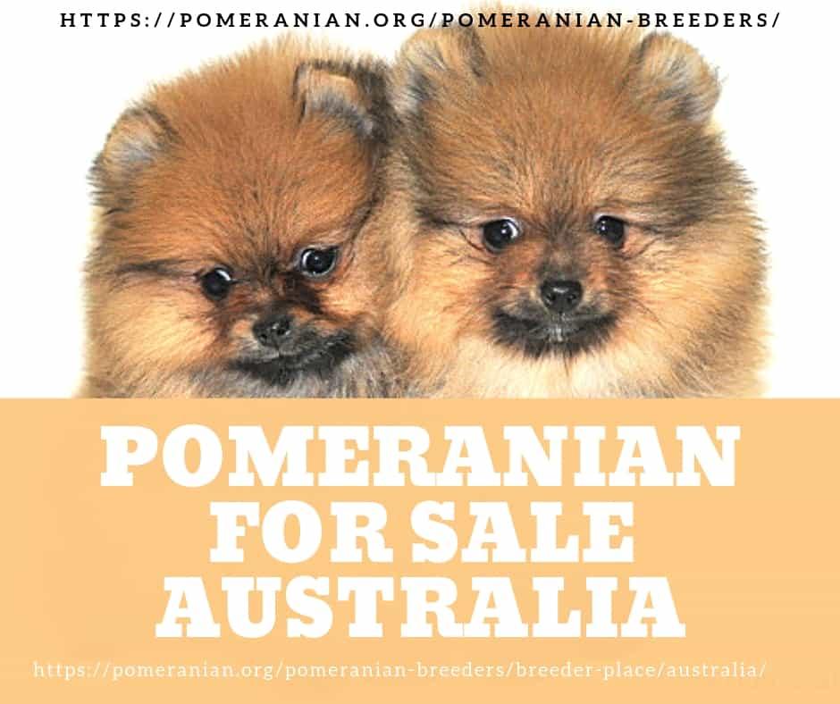 Purchasing a Pomeranian Puppy | Pomeranians Australia