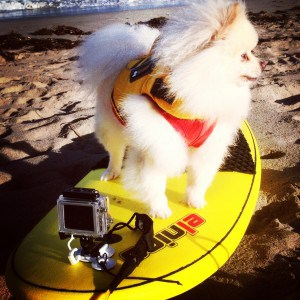 Snoops Pomeranian McCue at the beach