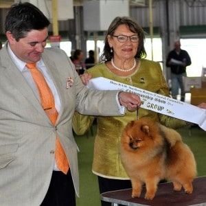 """Rebel"" Ch Shalleny's Rebel With A Cause (Imp Can) cruising to Best In Show 2nd."