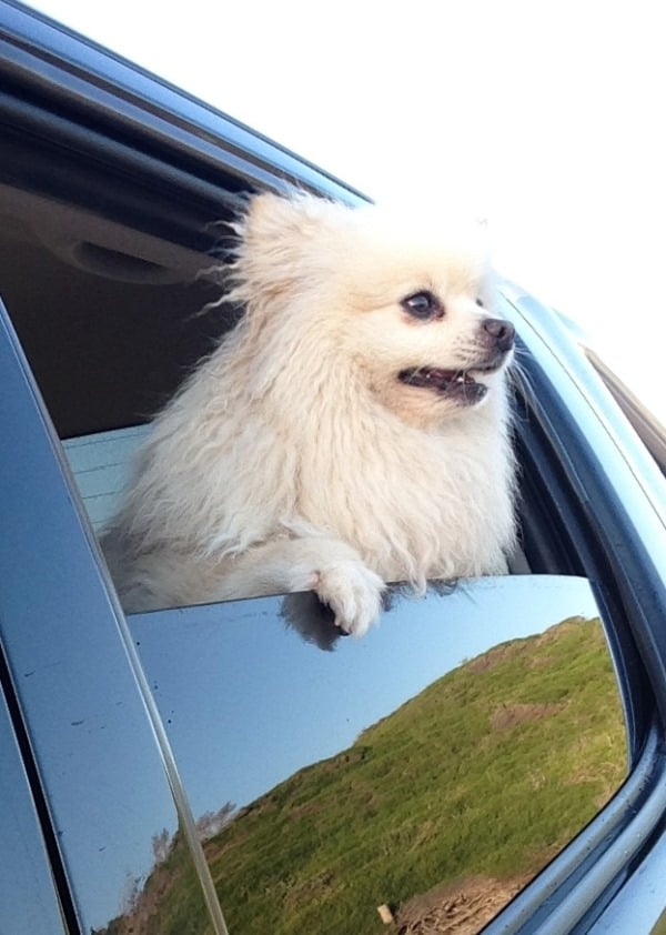 Snoops Pomeranian McCue out driving