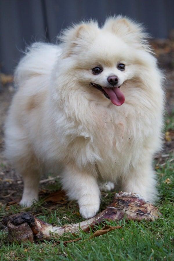 Snoops Pomeranian McCue