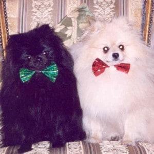 Willie & Freddy the Pomeranians