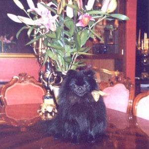Willie the Pomeranian