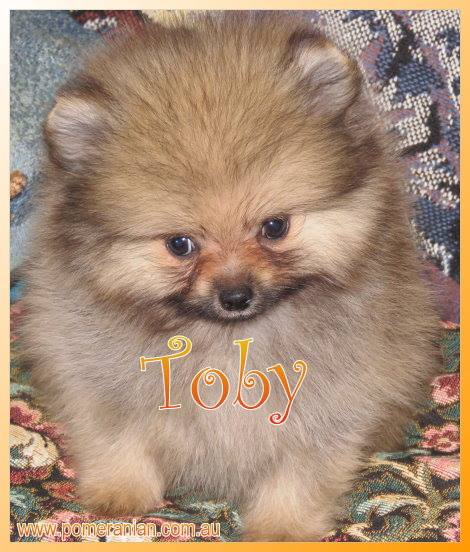 pomeranian pup for sale