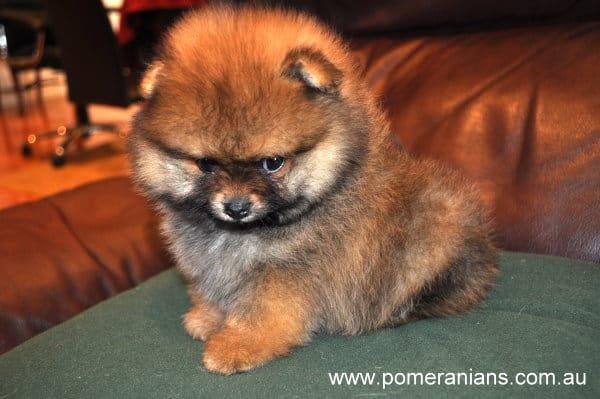 Pomeranian Puppy. When is a Pomeranian Full Grown ?