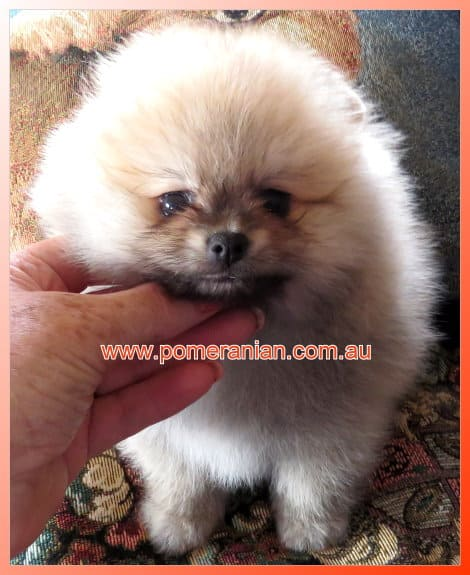 Pomeranian puppy for sale Melbourne, australia