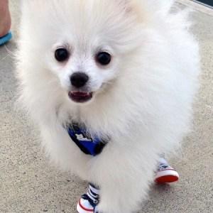 """The Pomeranian """"LARS"""""""