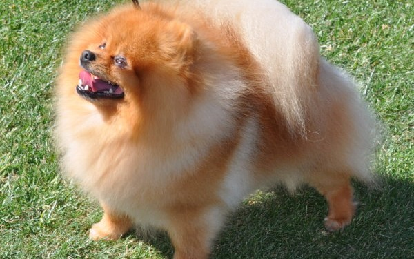 Pomeranian Facts