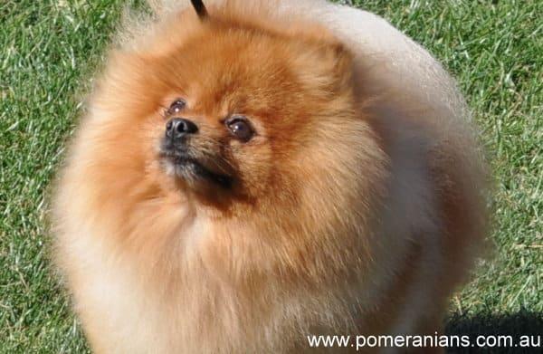 How Big Do Pomeranians Get?