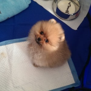 Tofu the Pomeranian