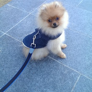 Tofu the Pomeranian and his harness