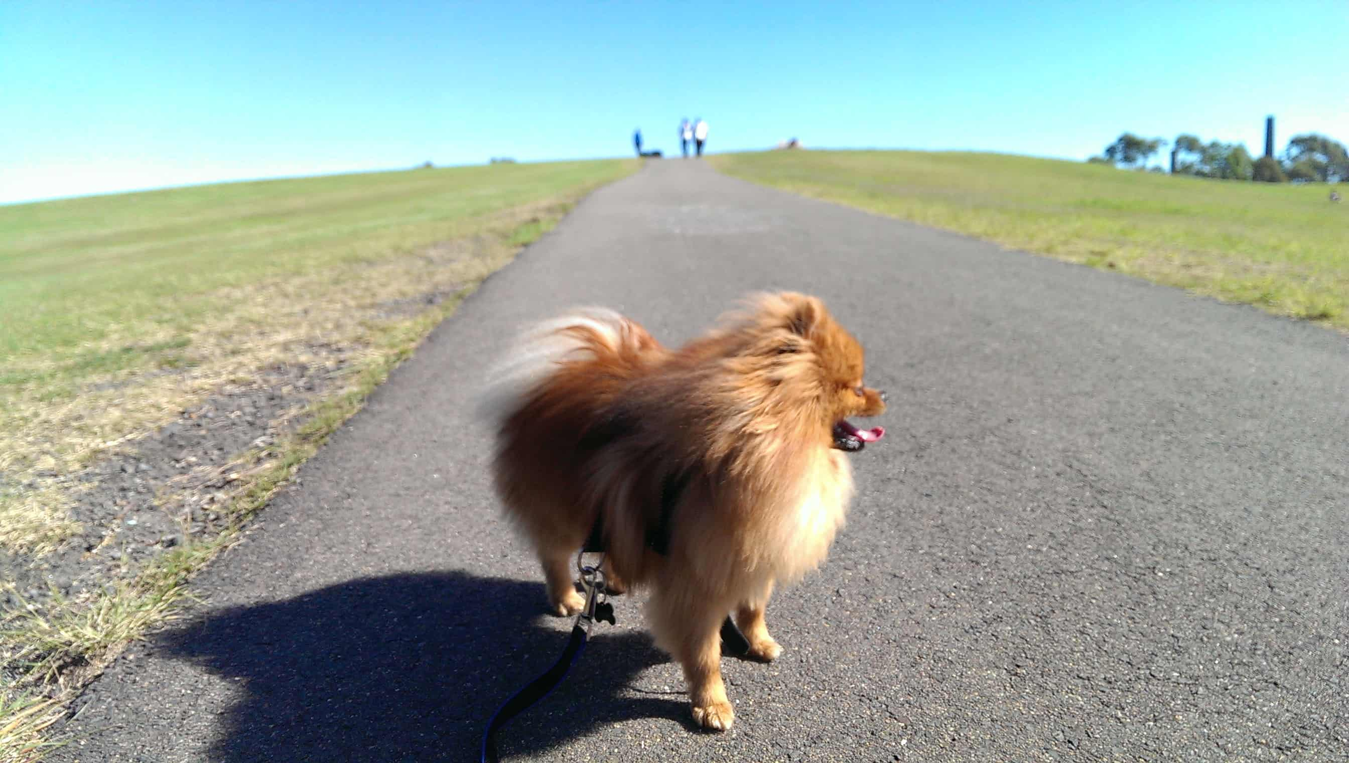 Tofu the Pomeranian loves walks.