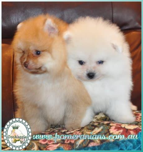 Dochlaggie Pomeranian pups