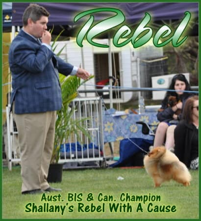 Rebel (Can & Aust Ch Shallany's Rebel With a Cause IMP CAN) winning BEST EXHIBIT IN GROUP at the biggest one day dog show in the southern hemisphere. 399 toys.