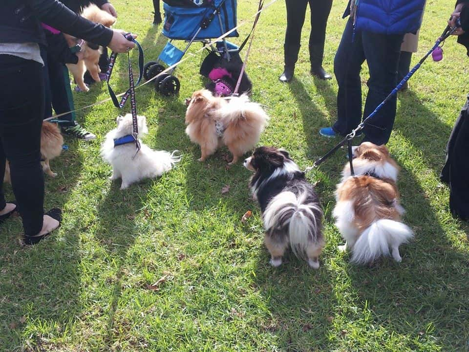 Sydney Pomeranian Christmas party 2016. We had previously looked at Bicentennial Park at Glebe foreshore (Inner West) as an option. Can I suggest we keep it the same as the Victorian meet up on 4 December, say 11-2pm.