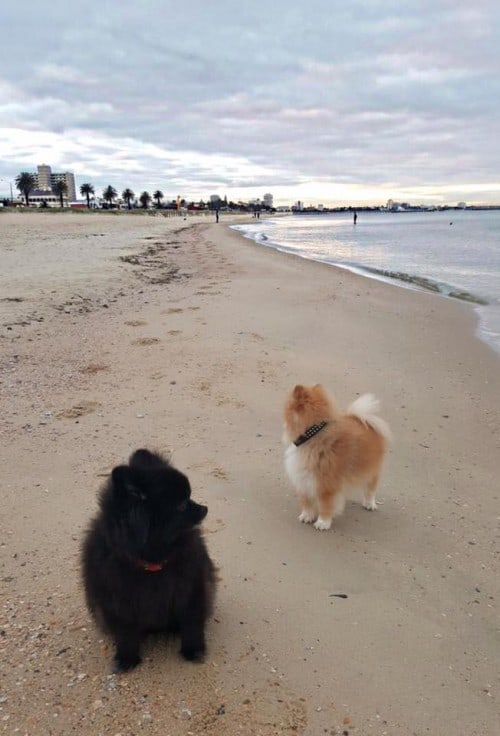 Beautiful photos and email from a Dochlaggie Pomeranian owner. Thank you.