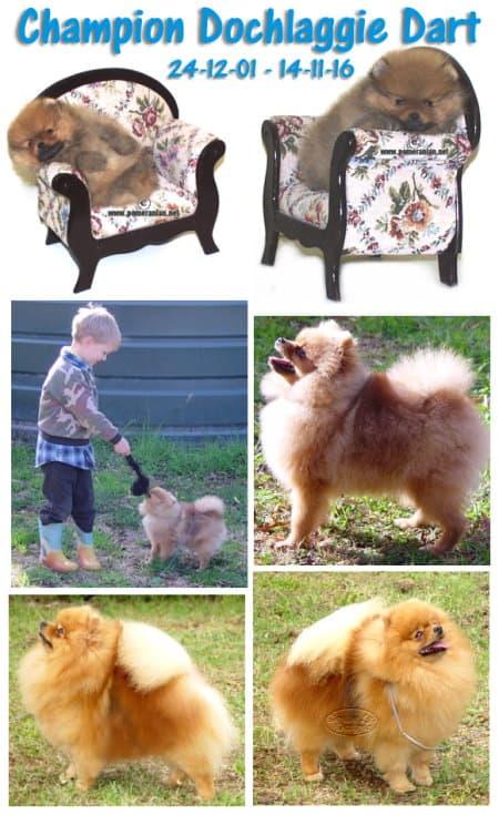 Champion Dochlaggie Dart, pomeranian, dog, dochlaggie, Australia, melbourne, breeder, rainbow bridge