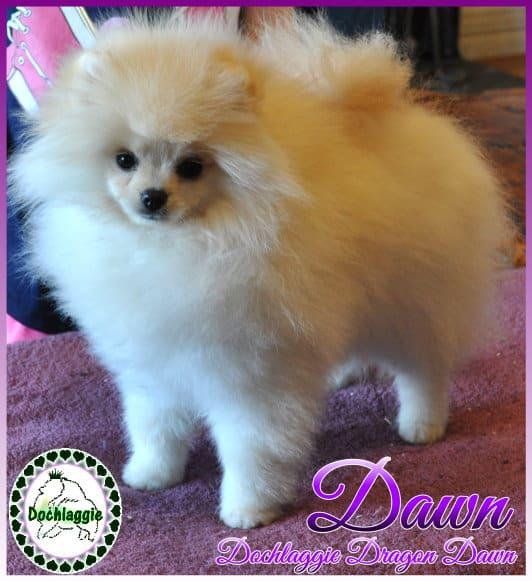 Show, prospect, puppy, Dochlaggie, Dochlaggie Dragon Dawn, Pomeranian, Melbourne, Pomeranians