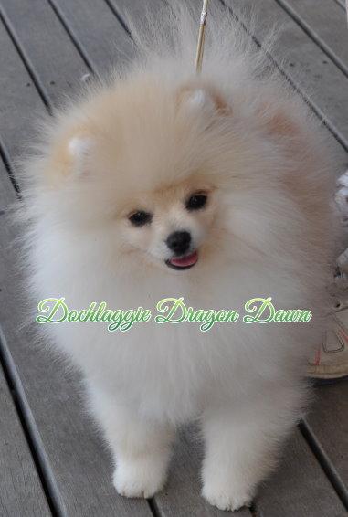Show prospect puppy @ Dochlaggie. Dochlaggie Dragon Dawn. www.pomeranian.com.au