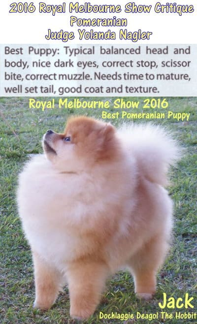 best pomeranian puppy royal melbourne show 2016