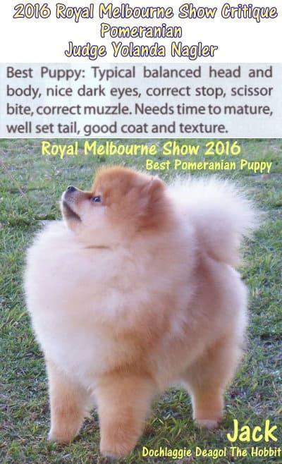 best pomeranian puppy royal melbourne show 2016