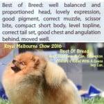 best pomeranian royal melbourne show 2016