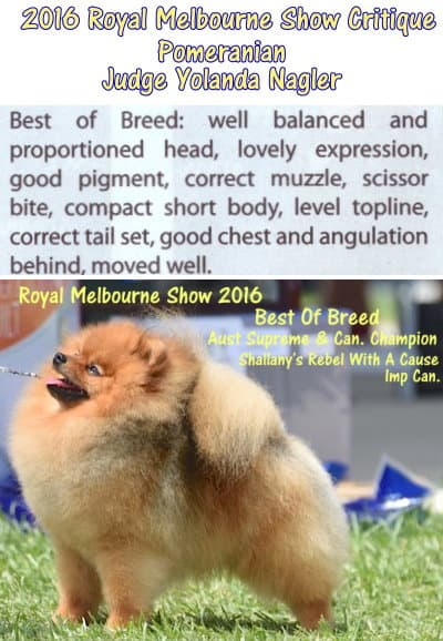 best pomeranian royal melbourne show 2016