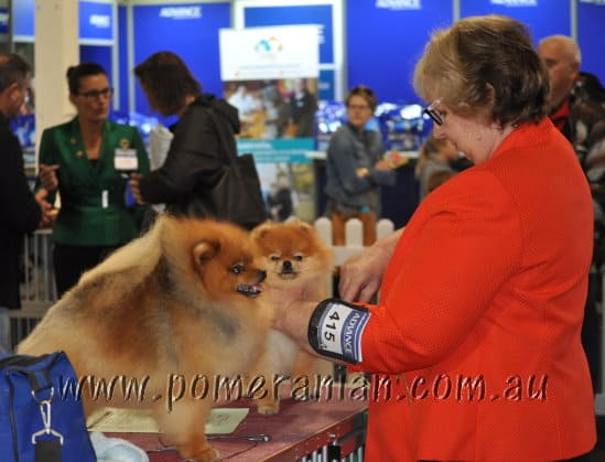 Pomeranians at Royal Melbourne Show 2016
