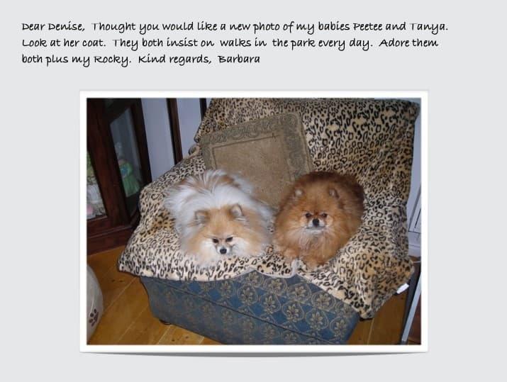 retired Dochlaggie Pomeranians