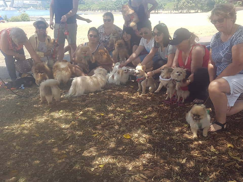 Pomeranians NSW Christmas  Party and Meet Up 2016