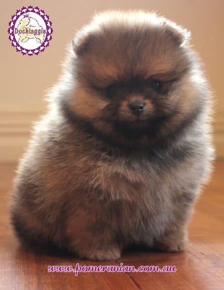 Show prospect puppy, Dochlaggie, Dochlaggie Pomeranians, Pomeranians melbourne
