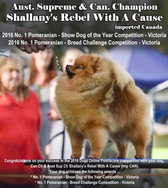 Sup Ch Shallany's Rebel With A Cause (Imp CAN). 2016 No. 1 Pomeranian Victoria