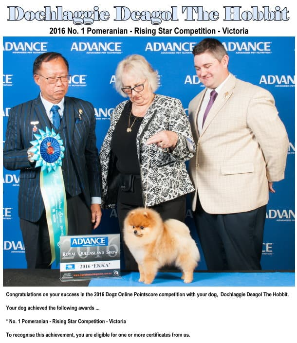 Dochlaggie Deagol The Hobbit is BEST Pomeranian Rising Star 2016 for Victoria.