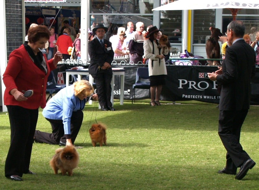 Pomeranians at Sydney Royal