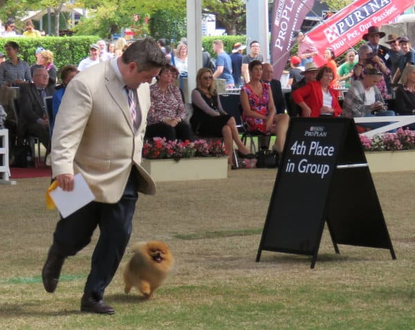 Best in Group 4th for Rebel the Pomeranian ( Can Champion and Australian Supreme Champion Shallany's Rebel With A Cause Imported Canada) at Sydney Royal Easter Show 2017 .