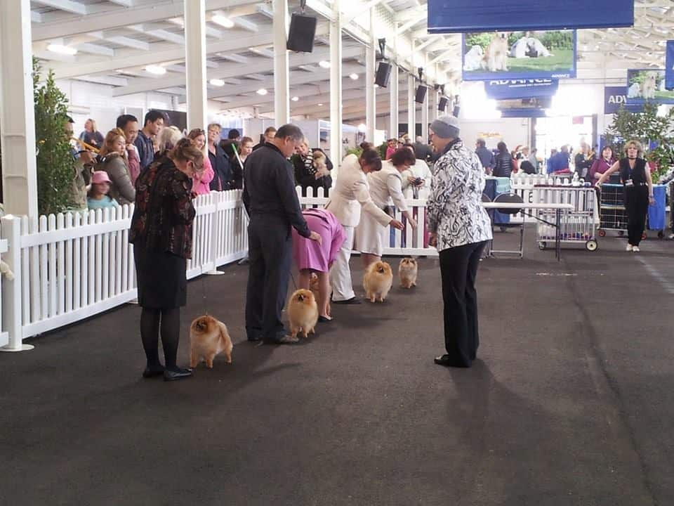 Pomeranian Judging at Royal Melbourne Show 2017