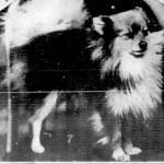 Pomeranian Cheeky Boy