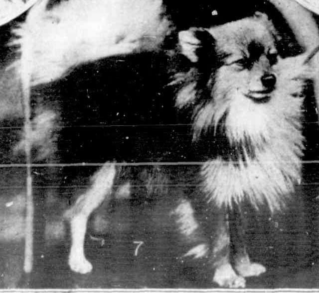 The first championship show of the Pomeranian Club of Victoria 1923